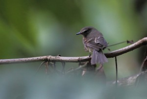 Fuscous Flycatcher by Feroze Omardeen