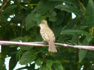 yellow bellied elaenia